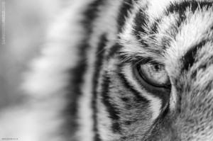 Eye of the Tiger in B&W